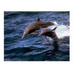 Delfín del hilandero tarjeta postal