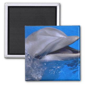 Delfín Imán Cuadrado