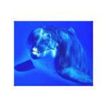 Delfín Lona Envuelta Para Galerías