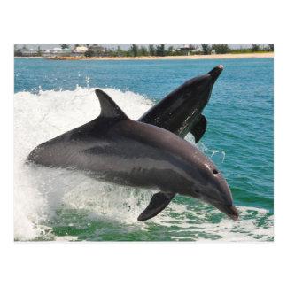 Delfínes de Bottlenose salvajes que saltan la post Tarjetas Postales