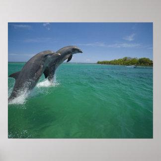 Delfínes de Bottlenose (truncatus del Tursiops) Póster