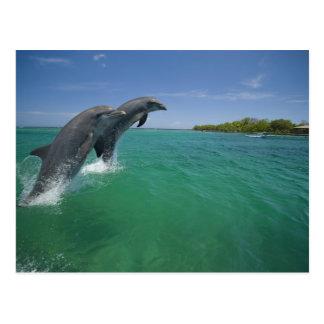 Delfínes de Bottlenose (truncatus del Tursiops) Tarjetas Postales