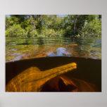 Delfínes del río Amazonas (geoffrensis) de Inia Ar Póster