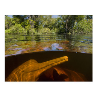 Delfínes del río Amazonas (geoffrensis) de Inia Tarjetas Postales