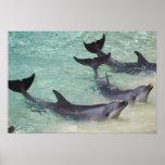 Delfínes, mundo del mar, Gold Coast, Queensland, Póster