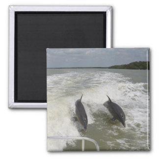 Delfínes que practican surf como consecuencia del  imán cuadrado