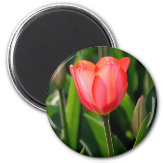 Delicate Back Lit Pink Tulip 2 Inch Round Magnet