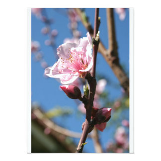 Delicate Buds of Peach Tree Blossom Announcement