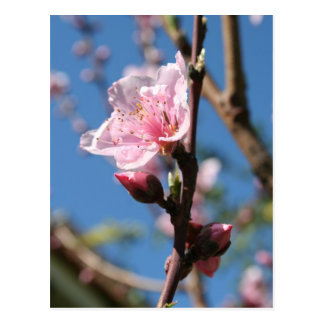 Delicate Buds of Peach Tree Blossom Postcard