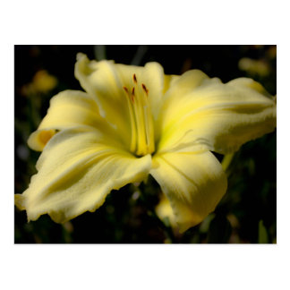 Delicate Daylilly Postcard