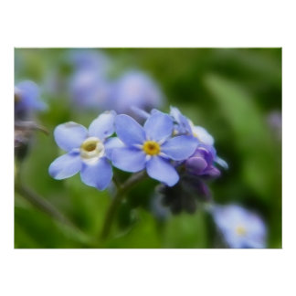 Delicate Forget Me Not Flowers Print