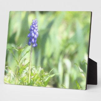 Delicate Grape Hyacinth Bloom Photo Plaque