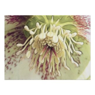 Delicate Hellebore Blossom print