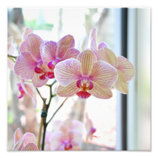 Delicate light white and pink striped orchids photo print