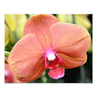 Delicate orange and pink orchid photo print