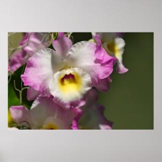 Delicate Orquid