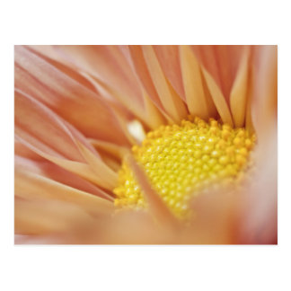 Delicate Peach and Yellow Flower Postcard