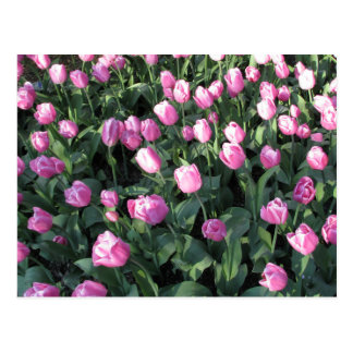 Delicate Pink and lilac Tulips Postcard