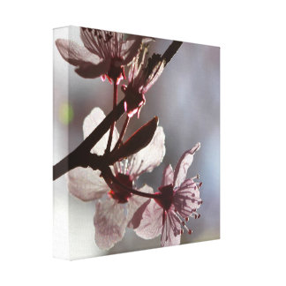 Delicate Pink Cherry Blossom Canvas Print