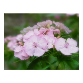 Delicate Pink Sweet William Blooms Print