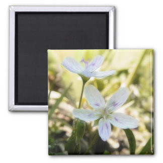 Delicate Spring Beauty Flowers 2 Inch Square Magnet