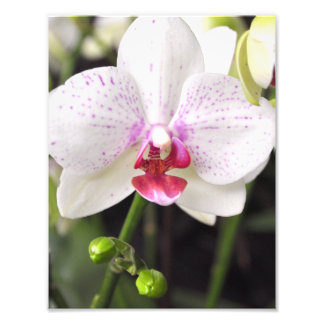 Delicate white and pink orchid photo print