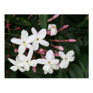 Delicate White Jasmine Blossom with Green Backgrou Postcard