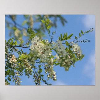 Delicate White Locust Blossom Flowers Blue Sky Poster