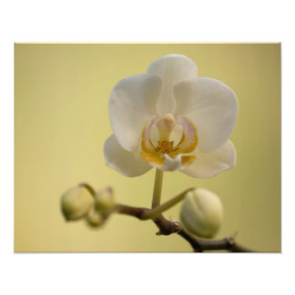 Delicate White Orchid Photo Print