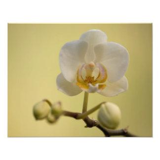 Delicate White Orchid Photo Print