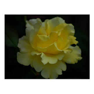 Delicate Yellow Rose Postcard