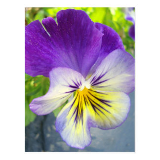Delightful Pansy Postcard
