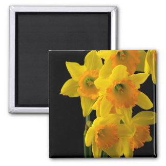 Delightful Yellow and Orange Daffodils 2 Inch Square Magnet