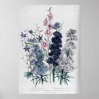 """Delphiniums, de la flor Garden """"de las señoras"""" Póster"""