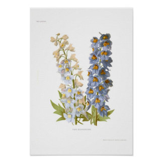 Delphiniums Posters