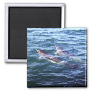 Delphinus delphis fridge magnet