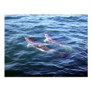 Delphinus delphis postcard