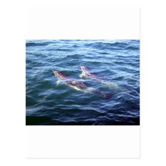 Delphinus delphis post cards