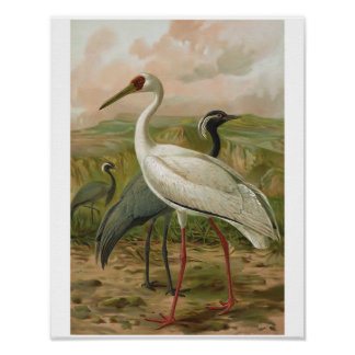 Demoiselle and Siberian Cranes Vintage Bird Poster