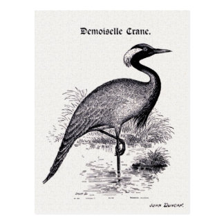 """""""Demoiselle Crane"""" Vintage Illustration Postcard"""