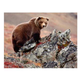 Denali Brown Bear Postcard