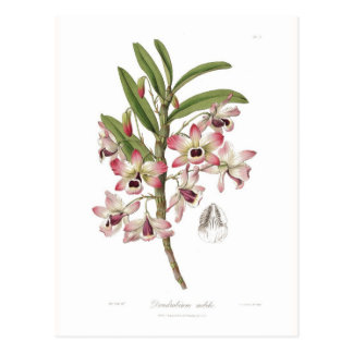 Dendrobium nobile postcard