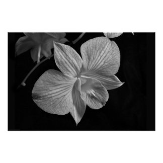 Dendrobium Orchid 2 Poster Print