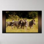 Derecho en usted - fauna del safari de las cebras impresiones