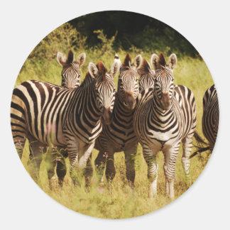 Derecho en usted - fauna del safari de las cebras pegatina redonda