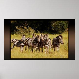 Derecho en usted - fauna del safari de las cebras póster