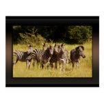 Derecho en usted - fauna del safari de las cebras tarjetas postales