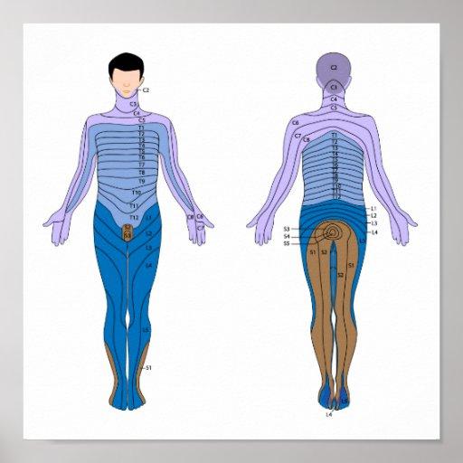 Dermatome diagram Poster