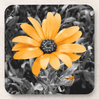 Desaturated Spring Flash African Daisy Photograph Beverage Coaster