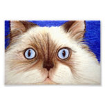 Descarado el gato Himalayan impresión de 5 x 7 fot